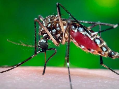 Szúnyogok terjesztik az egzotikus betegséget