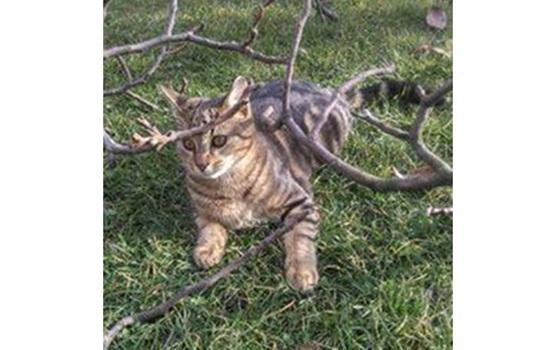 Selymi cica